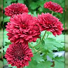 Quintet of Crimson Chrysanthemums by BlueMoonRose