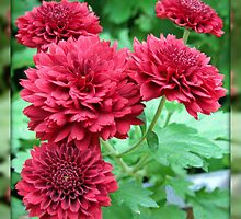 Quintet of Crimson Chrysanthemums by BlueMoonRose