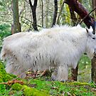Mountain Goat by Kathy Yates