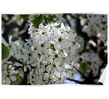 Bradford Pear Blossoms Poster