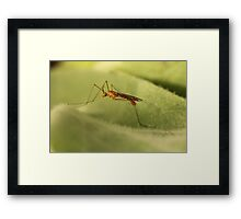 Crane Fly Framed Print