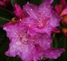Rainy Day Azalia by Debbie  Roberts