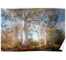 Mighty Ghost Gums - The Cedars, Hahndorf, The Adelaide Hills, SA Poster