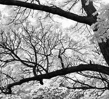 Branches by David Schroeder