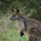 Swamp Wallaby  by Jacqueline  Murphy