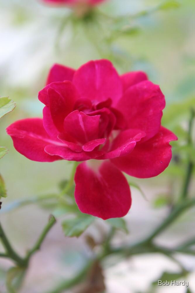 Knockout Rose by Bob Hardy