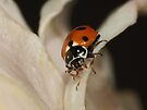 Spotted Amber Ladybird - Hippodamia variegata by Gabrielle  Lees