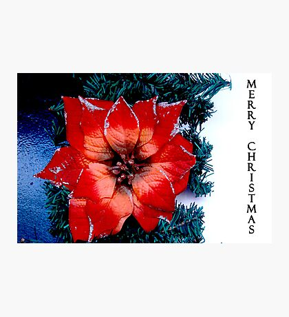 a flower for Christmas  Photographic Print