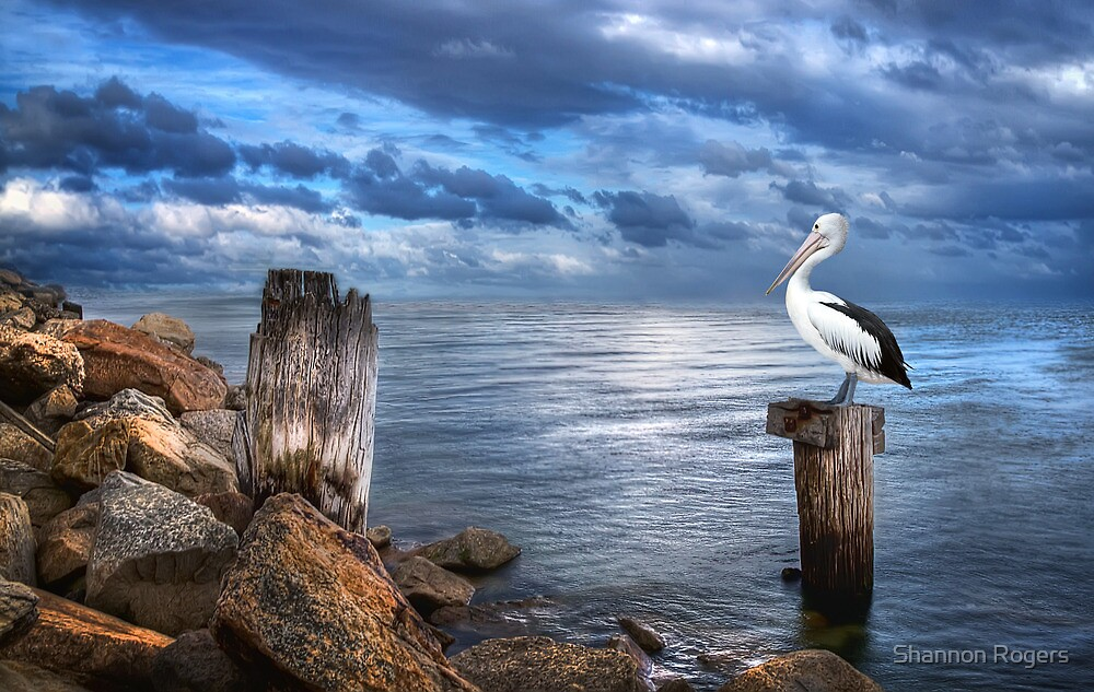 Pelicans Pride - The 2012 Almanac Calendar Front Cover Winner. by Shannon Rogers