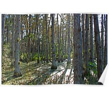cypress swamp at dupuis Poster