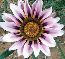 Gazania by Maureen Smith