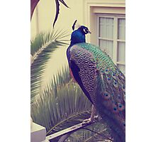 pavo real / peacock Photographic Print