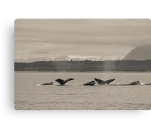 Busy Humpback Whale Pods Canvas Print