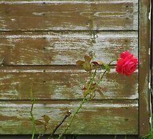 Garden Rose. by Beth Mackelden