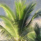 Palm - Palma, Puerto Vallarta, Mexico by PtoVallartaMex