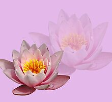 Water Lily by Aase