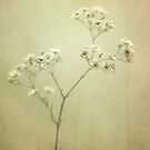 Gypsophila by lorrainem