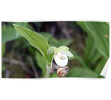 Sparrow's-egg Lady's-slipper - Cypripedium passerinum Poster