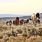 Wild Mustangs of Wyoming by Angela E.L. Clements