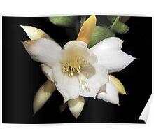 Epiphyllum anguliger or Fish Bone Cactus Flower Poster