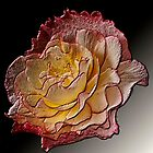 Begonia by Steve Purnell