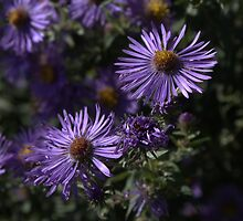 Niagara Falls Asters by CatKV