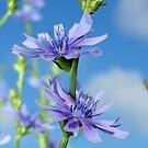 Blue Morning by burnettbirder