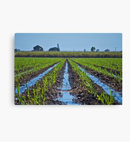 Irrigation of Young Sugar Canvas Print