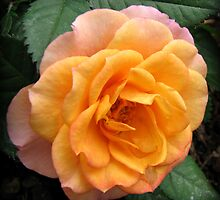 Soft and Gentle Apricot and Pink Rose by BlueMoonRose