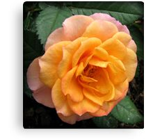 Soft and Gentle Apricot and Pink Rose Canvas Print