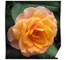 Soft and Gentle Apricot and Pink Rose Poster
