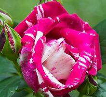 Delbard Henri Matisse rose in bloom ... by mightymite