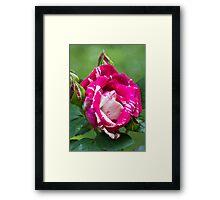 Delbard Henri Matisse rose in bloom ... Framed Print