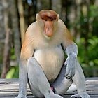 Male proboscis monkey - Nasalis larvatus by Andrew Trevor-Jones