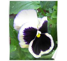 Pansy with Attitude Poster