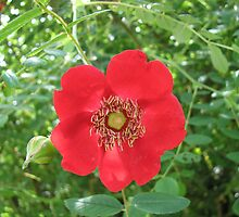 Colour me scarlet! Wild Rose and Buds by MidnightMelody