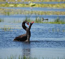 Black Swan Love by byronbackyard