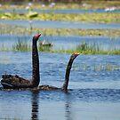Black Swan Love 2 by byronbackyard