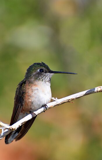 A Hummer by Barbara Manis