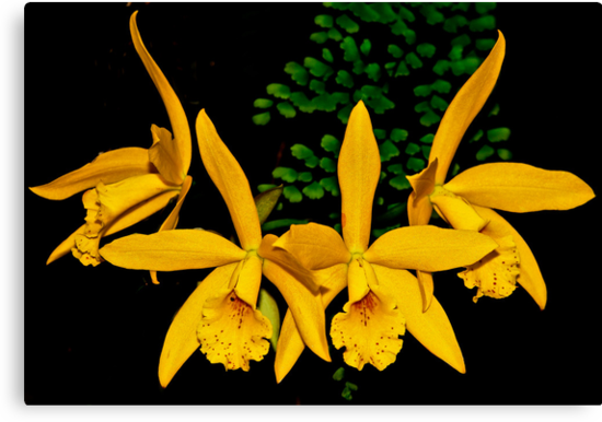 Yellow Orchids by cclaude