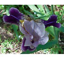 Burradoo Iris Photographic Print
