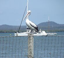 Queensland Pelicans. by CeciliaMay