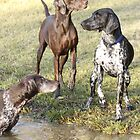 German Shorthaired Pointers by caninefunsports