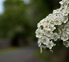 Hawthorn Blossom by Steve Purnell