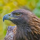 Golden Eagle Profile by Daniel  Parent