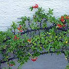 Cotoneaster by Fara