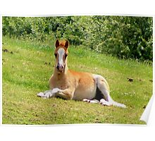 Foal Taking a Rest Poster