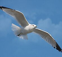 Soaring Gull by Kathy Baccari