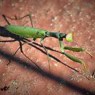 Praying mantis, praying ant. by Tigersoul