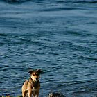 Dog at the Shore by ScaredylionFoto